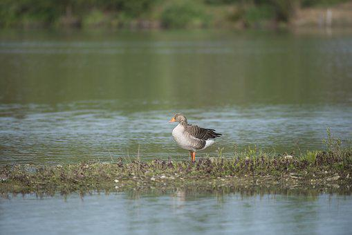 Goose Ashy, Bird, Pond, Field Birds, Ddo, Ariège