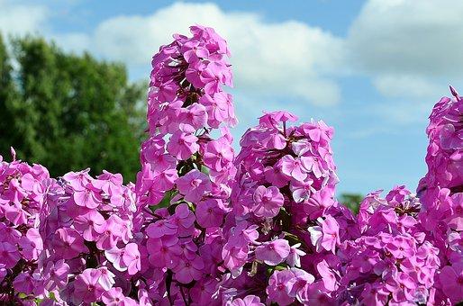 Liliac, Bush, Flower, Pink, Summer, Plant, Floral