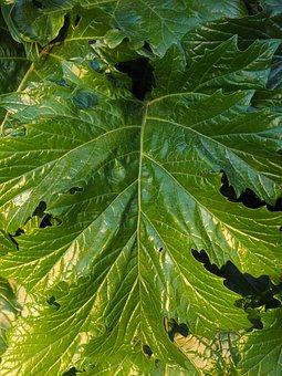 Acanthus Mollis, Acanthus, Acanthus Plant, Acanthaceae