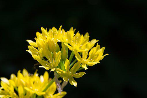 Gold Leek, Allium Moly, Amaryllidaceae, Flower, Blossom