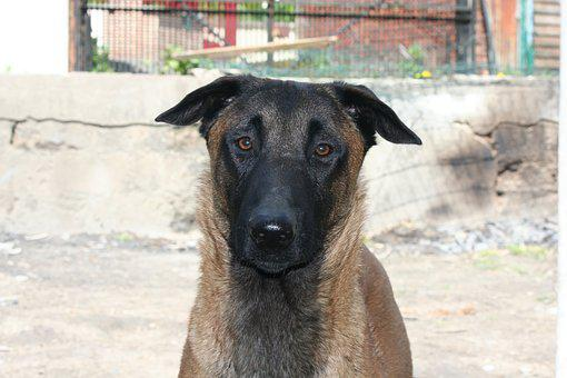 Dog, Animals, Animal, Malinois, Belgian Shepherd Dog