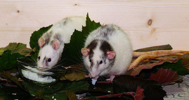 Rat, Color Rats, Rodents, Animals Of Lovers Of, Mammals