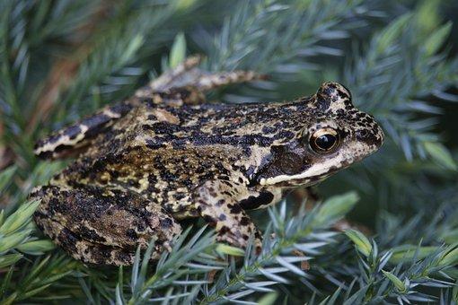Frog, Toad, Amphibians, Anuran, Green, Aquatic Animal