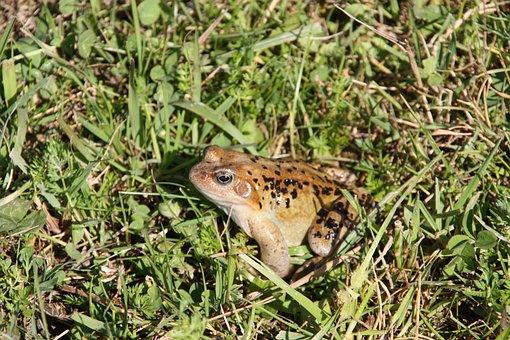 Toad, Frog, Amphibians, Anuran, Nature, Animal
