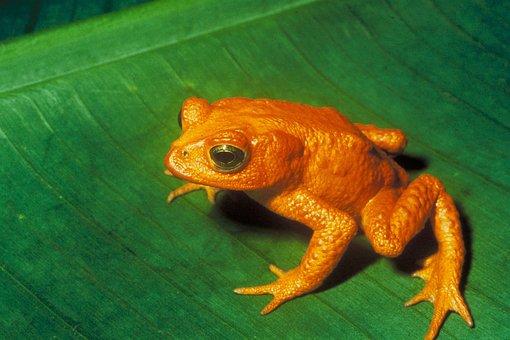 Gold Toad, Toad, Anuran, Bufonidae, Incilius Periglenes