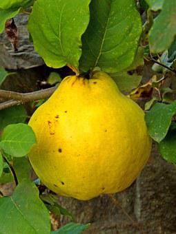 Quince, Fruit, Autumn, Tree, Yellow, Nature
