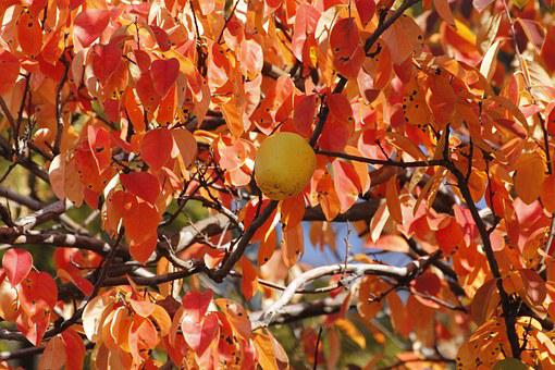 Chinese Quince, Wood, Autumn