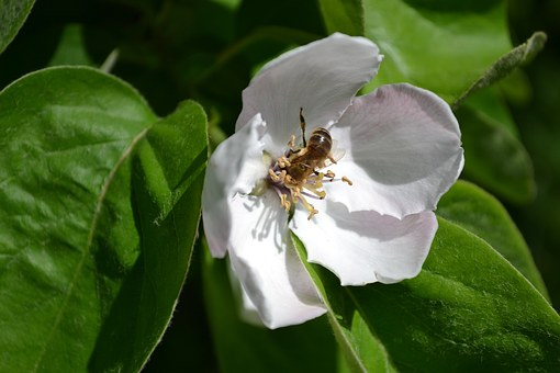 Bee, Flower, Quince, Spring, White, Petals, Green