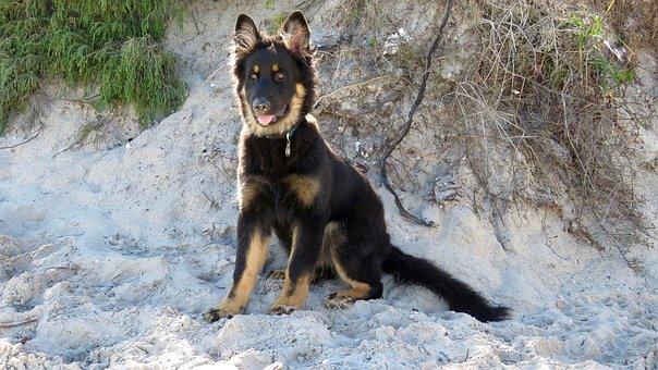 Dog, German Shepherd, Portrait, Puppy, Breed, Pet
