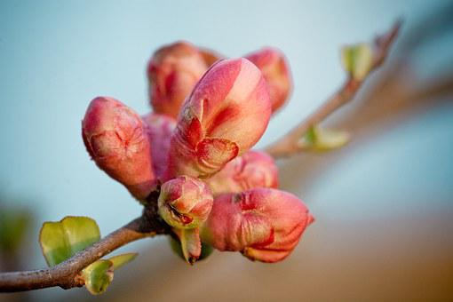 Quince, Bud, Branch, Flower Buds, Road, Pink, Plant