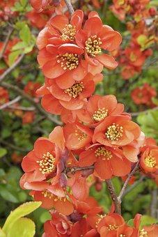 Chaenomeles Japonica, Ornamental Quince, Bush