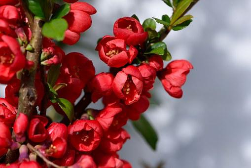 Ornamental Quince, Bush, Flowers, Red, Spring, Garden