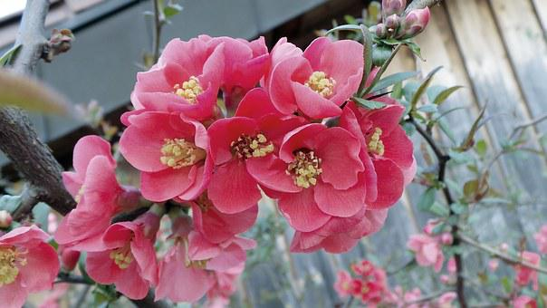 Ornamental Quince, Chaenomeles, Bush