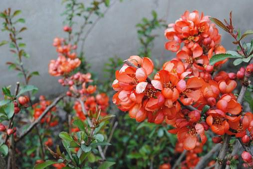 Spring, Bush, Quince, Flowers