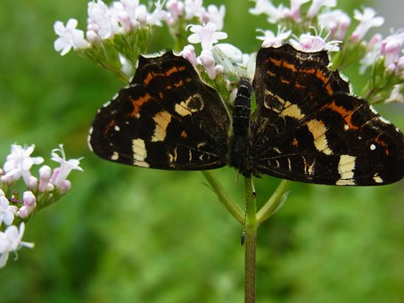 Dorsata, Butterfly, Prey, Insect, Arachne, Blossom