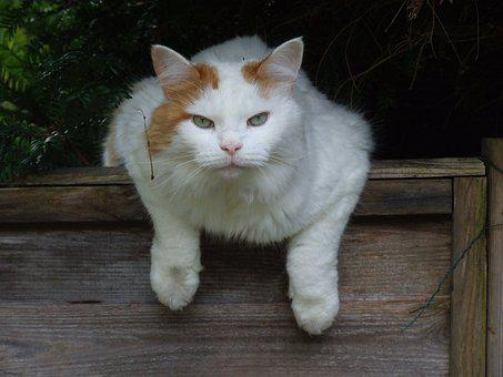 Cat, White, Turkish Van, Feline, Pet, Cute, Fur, Kitty