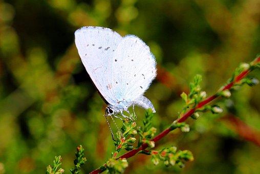 Holly Blue, Celastrina Argiolus, Butterfly, Butterflies