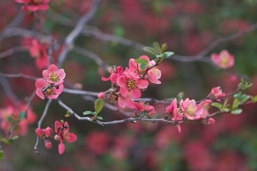Japanese Quince, Chaenomeles, Flowering, Bush, Shrub
