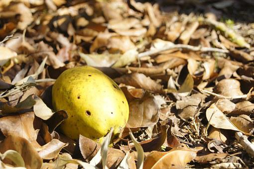 Chinese Quince, Leaves, Autumn, Autumn Leaves, Nature