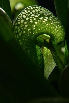 Darlingtonia, Cobra Lily, Carnivorous, Plant