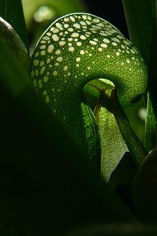 Darlingtonia, Cobra Lily, Carnivorous, Plant