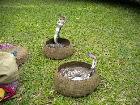 Snake, Charmer, Snake Charmer, Cobra, Poisonous