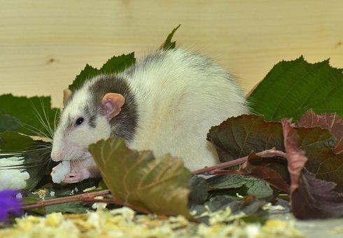 Rat, Color Rat, Rodent, Handzahm, Fur, Hair, Head, Dear