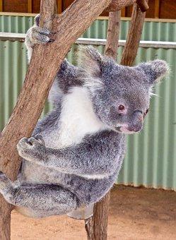 Koala, Bear, Australian, Cute, Marsupial, Wildlife