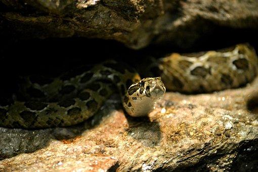 Snake, Reptile, Zoo, Animals, Wildlife, Viper, Danger