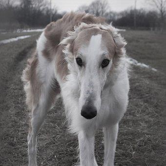 Barzoi, Dog, Hound