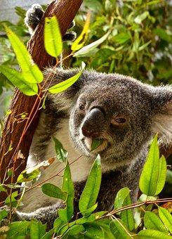 Koala, Eating, Bear, Eucalyptus, Australia, Cuddly
