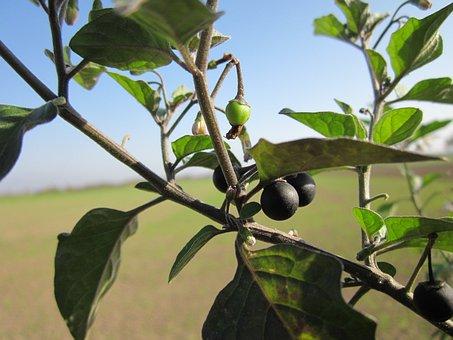 Solanum Nigrum, European Black Nightshade