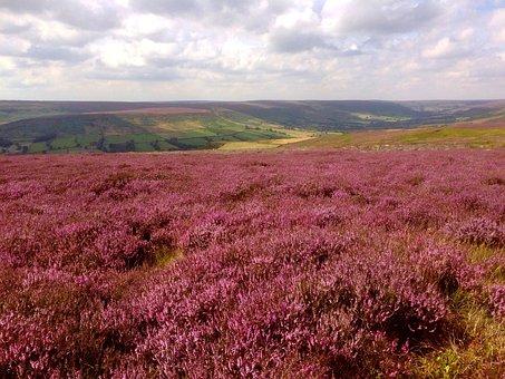 Heather, Farndale, Yorkshire, Moorland, Fields