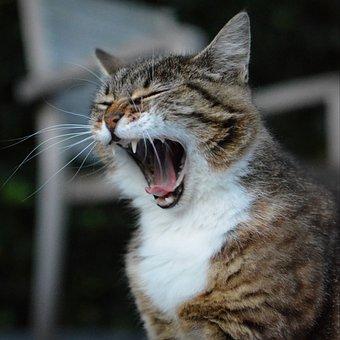 Cat, Animal, Cats, Pet, Mammal, Yawn, Feline