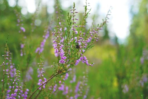Heather, Heide, Plant, Close, Nature, Pink, Flora