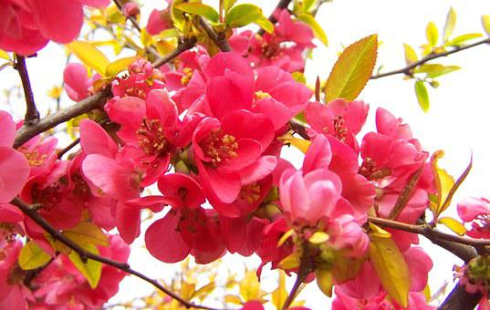Flowering Quince Japan, Pink Spring Flowers, Shrub