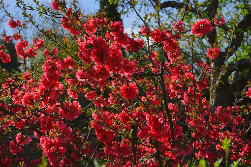 Japanese Ornamental Quince, Bush, Blütenmeer, Flowers