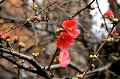 Quince, Ornamental Quince, Flowers, Red, Bloom, Nature