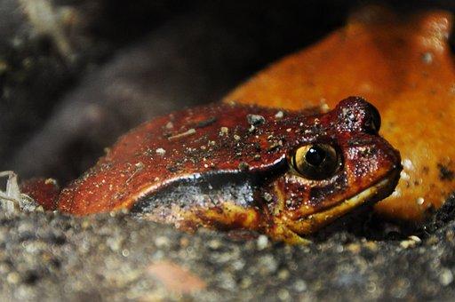 Tomato Frog, Frog, Anuran, Amphibian, Amphibians