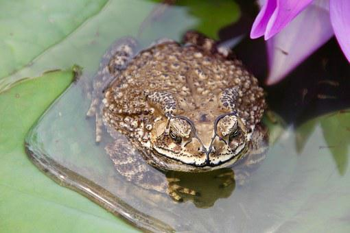 Toad, Frog, Tadpoles, Water, Plant, Water Lily, Monster