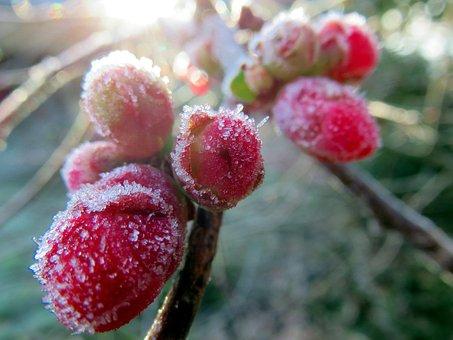 Flower, Japan Quince, Pink, Gel