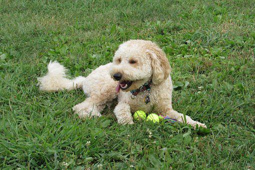 Golden Doodle, Puppy, Animal, Dog, Canine, Mixed