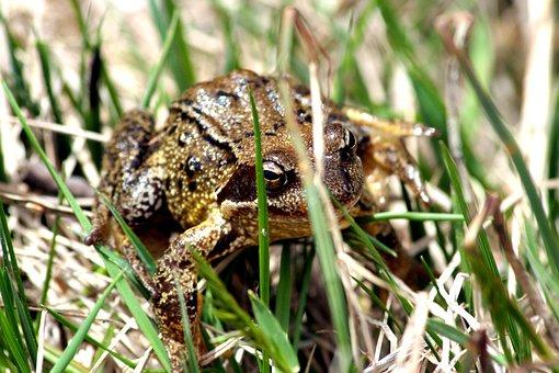 Toad, Frog, Grass, Newt, Anuran, Amphibians, Green