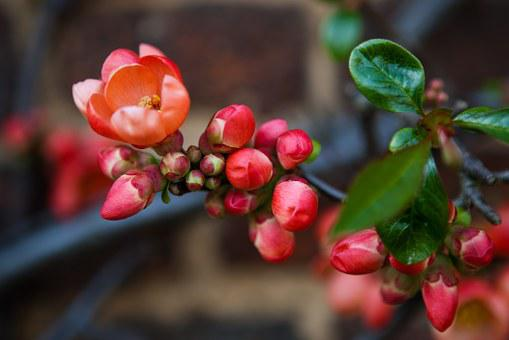 Flowering Quince, Chaenomeles, Red, Pink, Green, Bright
