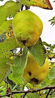 Quince, Plant, Kernobstgewaechs, Fruit, Hairy