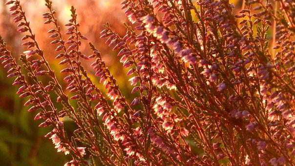 Heather, Ericaceae, Flowers