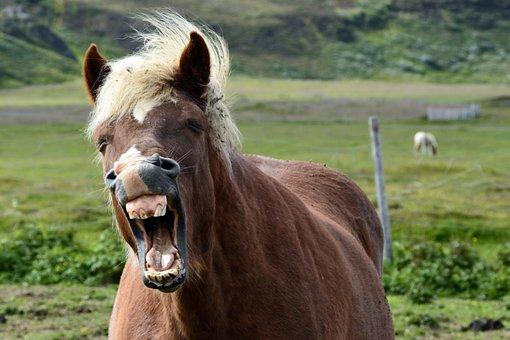 Iceland Pony, Icelanders, Iceland Horse, Horse, Pony