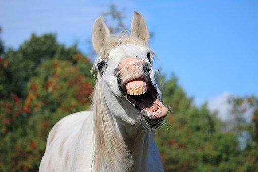 Horse, Stallion, Yawn, Mold, Thoroughbred Arabian
