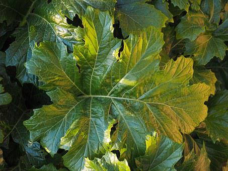 Acanthus Mollis, Leaf, Green, Large, Huge, Acanthus