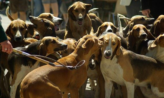 Hunting Dogs, Hunting, Pack, Hunting With Hounds